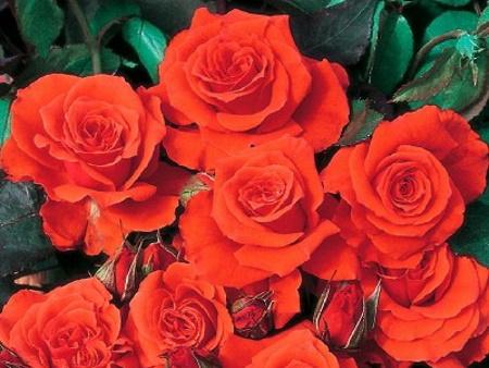 Rosa Orange Sensation®