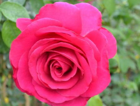 Rosa Parole®