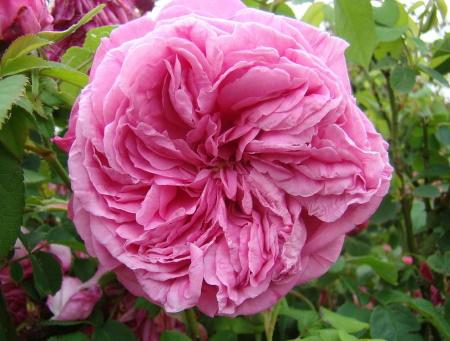 Rosa Paul Ricault