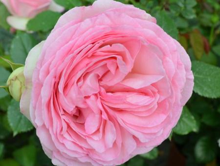 Rosa Pierre de Ronsard®