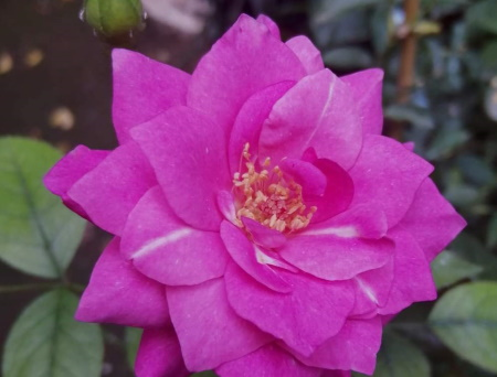 Rosa Pink Ekrixis