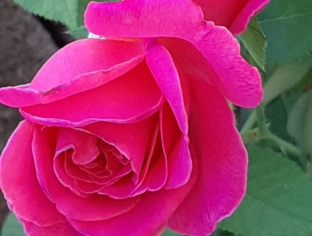 Rosa Pink Peace