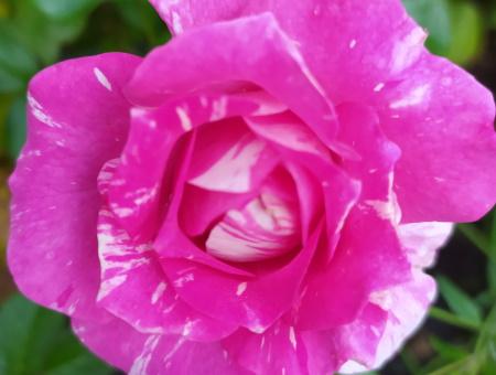 Rosa Pink Tiger