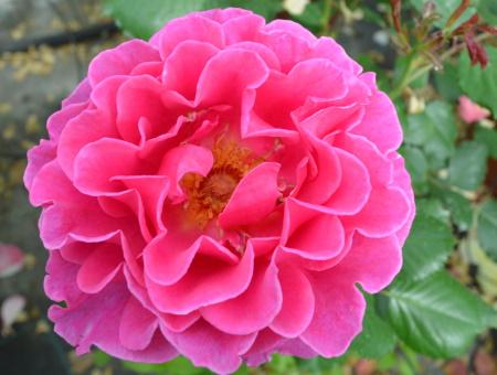 Rosa Princess Alexandra®