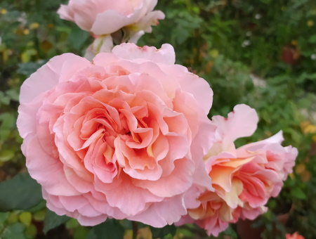 Rosa Rachel®
