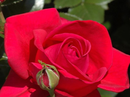 Rosa Red Flame