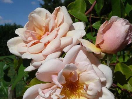 Rosa Rêve d'Or
