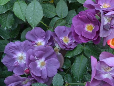 Rosa Rhapsody in Blue®