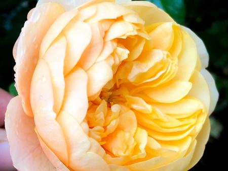 Rosa Roald Dahl®