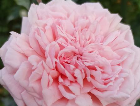 Rosa de Cornouaille®