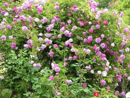 Rosa Multiflora 'Platyphylla'