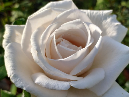 Rosa Royal Copenhagen