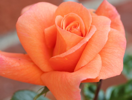 Rosa Scent from Heaven