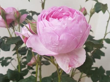 Rosa Scepterd Isle®