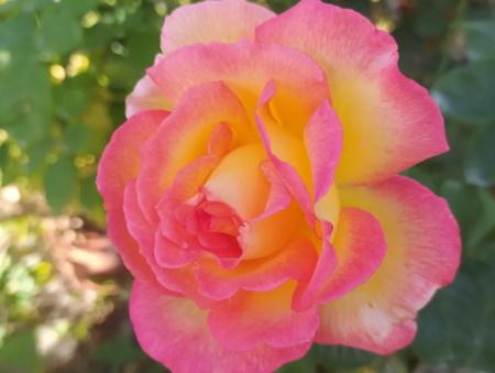 Rosa Sheilas Perfume®