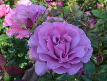 Rosa Shocking Blue®