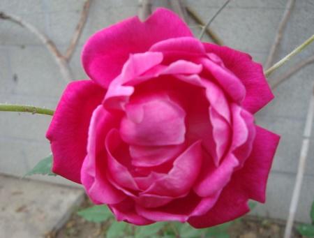Rosa Slaters Crimson China