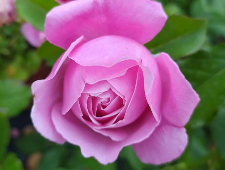 Rosa Soeur Emmanuelle®