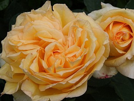 Rosa Sophia®