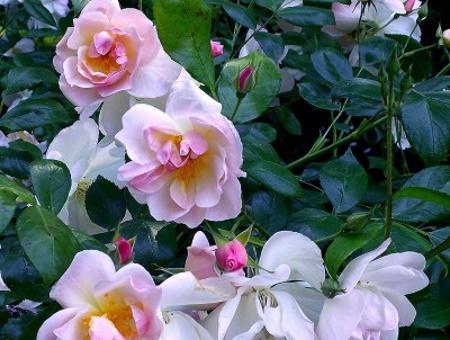 Rosa Sourire d'Orchidée