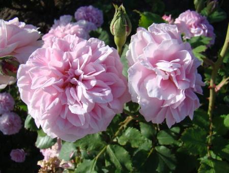 Rosa Souvenir de Mme Auguste Charles