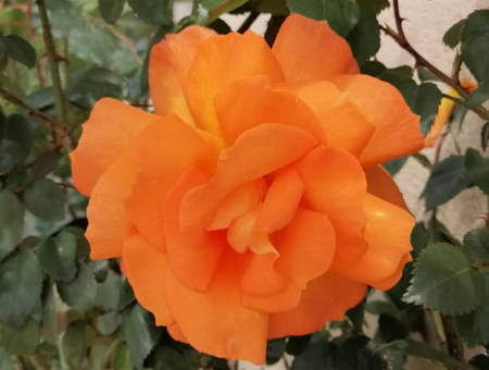 Rosa Sparkle