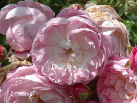Rosa Spectabilis