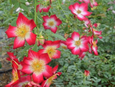 Rosa Star Profusion®