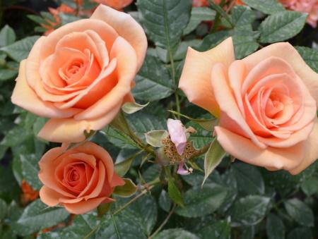 Rosa Sweet Honey