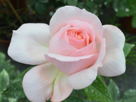 Rosa Sweet Love®