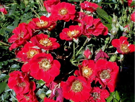 Rosa Tapis Rouge®
