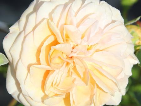 Rosa Timeless Cream