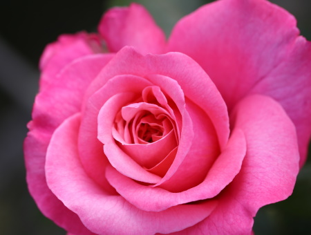 Rosa Timeless Pink®