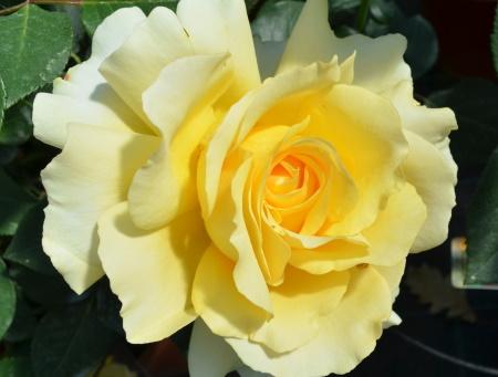 Rosa Tivoli®