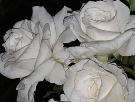 Rosa White Meilland®