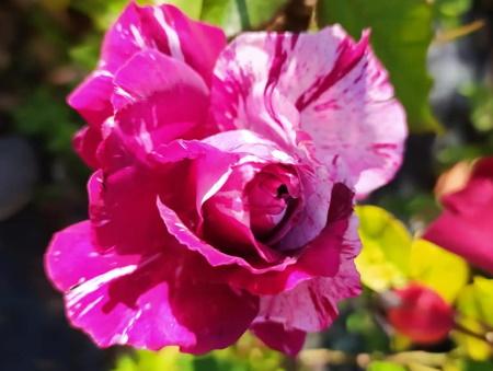 Rosa Zebra Rouge