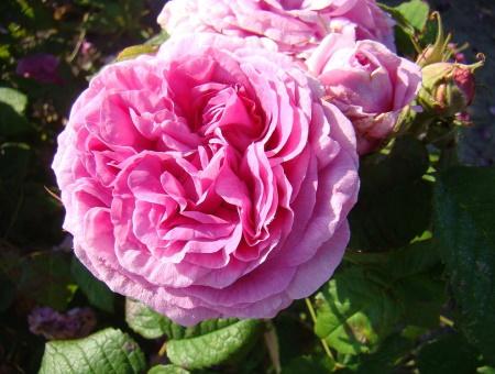 Rosa Duchesse de Rohan