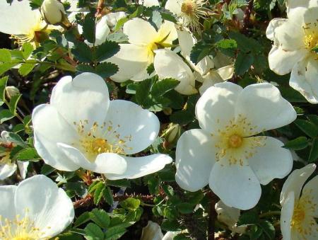 Rosa Pimpinellifolia 'Dunwich Rose'