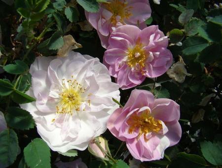 Rosa Pimpinellifolia Mon Amie Claire