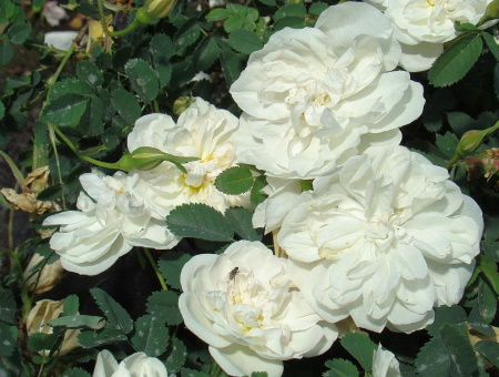 Rosa Pimpinellifolia Paula Vapelle