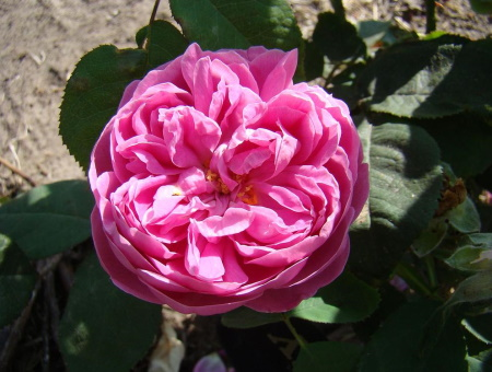 Rosa Rose de l'Alhambra