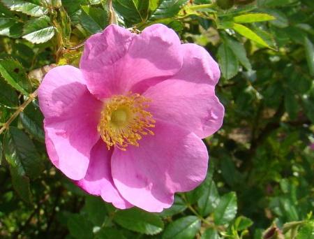 Rosa x Kochiana