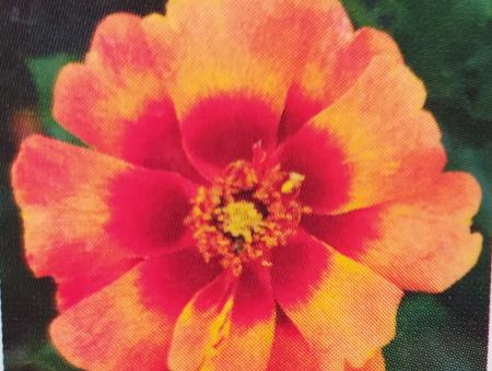 Rosa Flame Babylon®