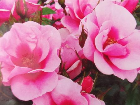 Rosa Maestro Babylon®