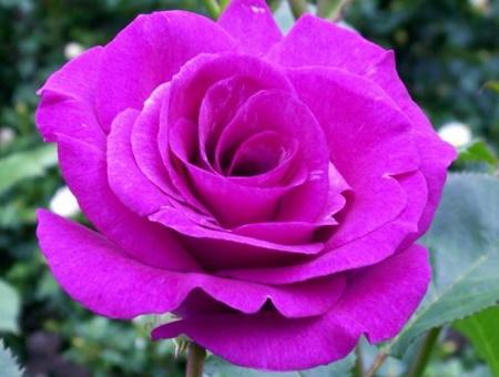 Rosa Violette Parfumee®